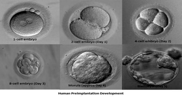 embryos blastocyst development